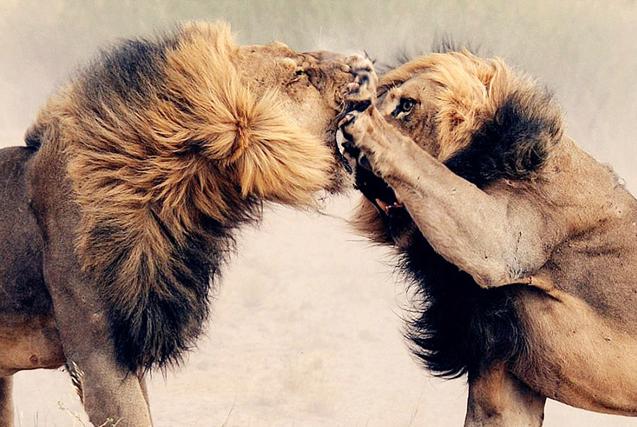 """非洲两雄狮为""""红颜""""大打出手场面激烈"""