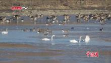 珍稀小天鹅在吉林湿地戏水 现场好欢乐
