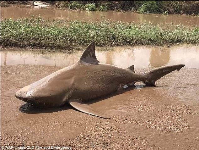 """飓风""""黛比""""将鲨鱼刮到澳大利亚内陆小镇"""