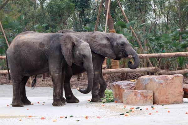 非洲象搭专机来沪 明起在野生动物园与游客见面