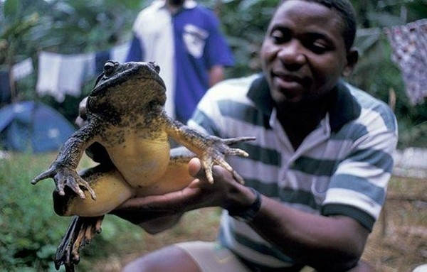 非洲世界最大青蛙长相恐怖:体长1米像小孩
