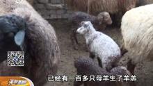 新疆特克斯:降雨降温影响畜牧业