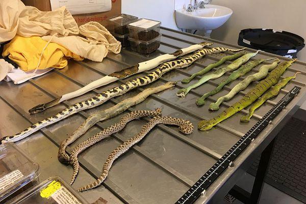 澳大利亚海关从两只鞋盒里查获毒蛇和蝎子