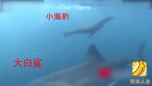 游客面前大白鲨生吞海豹 凶猛霸气