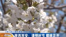 西安:清明时节 樱桃花开