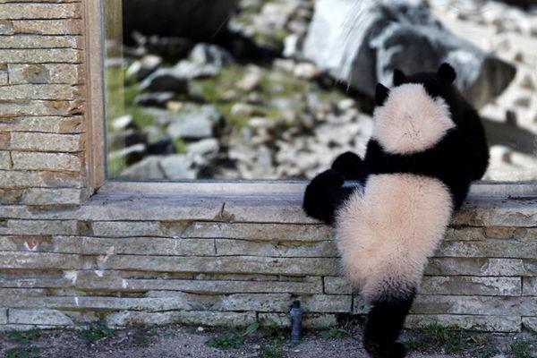短腿小滚滚!旅居西班牙大熊猫动物园内卖萌玩耍