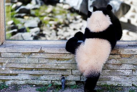 旅西班牙大熊猫玩耍 小短腿萌化了