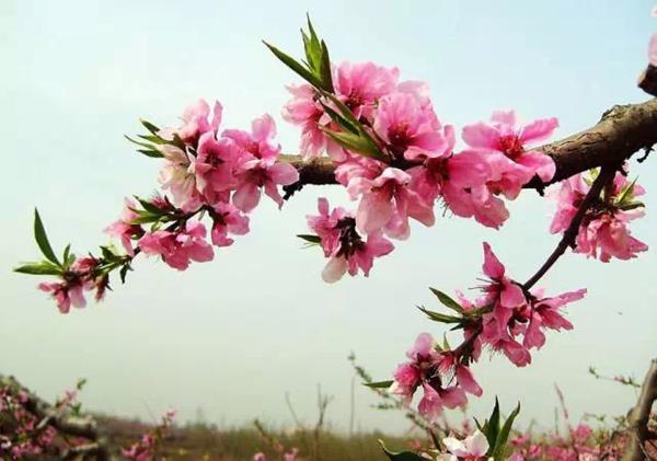 春天来了!樱花,桃花,杏花,梨花,李花,海棠花你分的清吗?