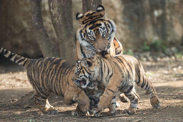 日本动物园俩虎兄弟干架 遭虎妈咬背拎出痛死了熊孩子