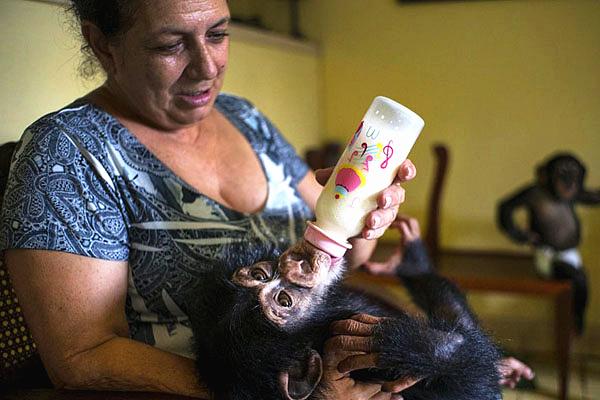 古巴生物学家抚养黑猩猩 称工作量大不简单