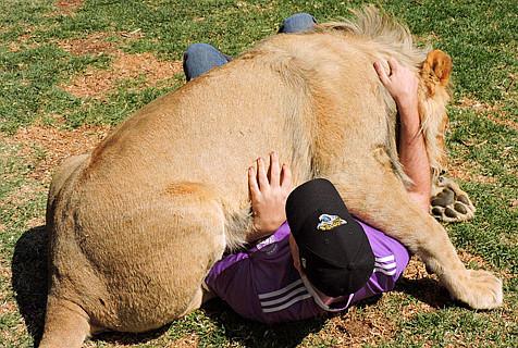 男子南非遭狮子扑倒 误被当交配对象