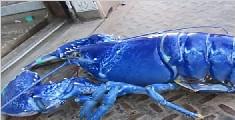渔民捕获罕见蓝色龙虾 概率200万分之一