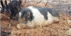 主人逃离大火忘带宠物猪 它挖坑藏身躲过一劫