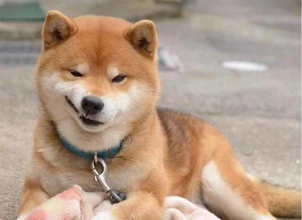 科技 新闻 正文  7岁大的ryuji是一只超级可爱的日本柴犬,撒娇,卖萌