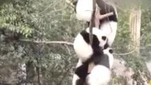 动物园突然放水 国宝集体爬树躲避