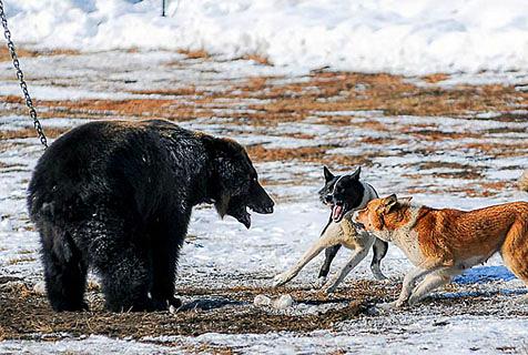 俄捕猎俱乐部绑起棕熊任猎犬挑衅