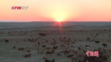 实拍新疆50万牲畜大转场
