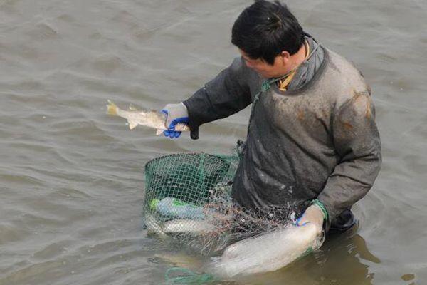 鱼洄游产卵遭市民捕捞 半小时捕几十斤
