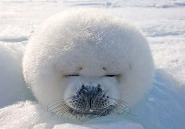 10种全世界最圆的动物:可爱萌出鼻血
