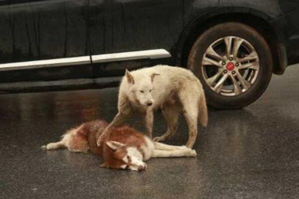 同伴闹市被撞,小狗呜咽守候不忍离去