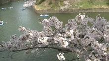 樱花啥时开关系到经济景不景气?