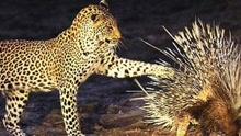豹子盯上了两只豪猪猛扑被扎 网友:尴尬了