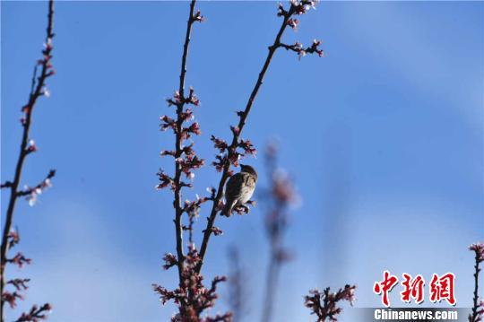 """甘肃戈壁小城雪映春花呈别样""""四月天"""""""