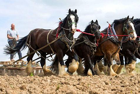 英农场主以马耕作农田 拒用现代化设备