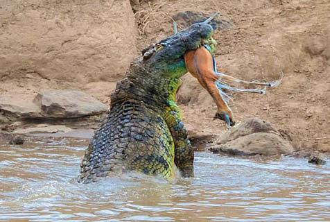 惊人一幕:肯尼亚巨鳄水中霸气猎食两羚羊