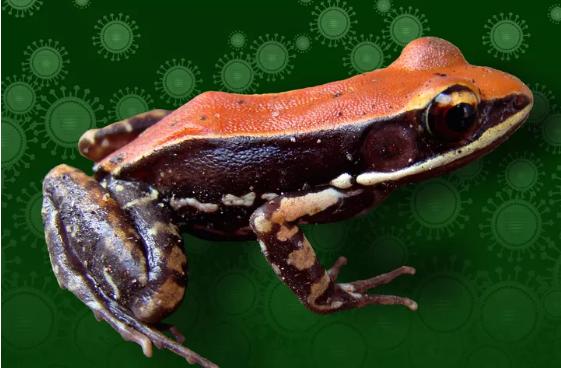 青蛙粘液中含有可以帮助我们战胜流感的成分