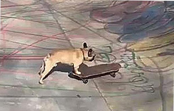 有趣!法国一斗牛犬在伦敦公园玩滑板引围观