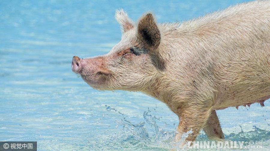 一群小猪照片大全可爱