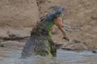 巨鳄水中霸气猎食羚羊
