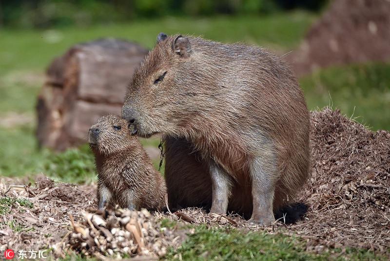 """【环球网综合报道】据英国《每日邮报》4月20日报道,英国切斯特动物园一头叫莉莉(Lily)的水豚诞下了可爱的新生命。莉莉是英国电视第四频道系列节目《动物园的神秘生命》中的""""主角""""。这只小水豚宝宝生长的非常快,已经进行水上""""首秀""""——在围观人群面前游来游去。 水豚是世界上最大的啮齿动物,属于大型豚鼠,可长到5英尺长(约1."""