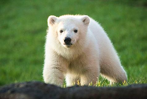 美三只北极熊崽首亮相广邀游客来取名