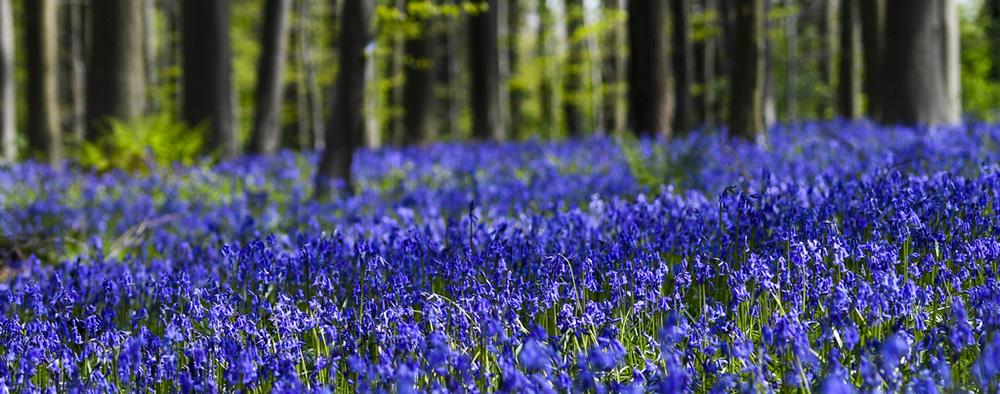 比利时梦幻的风信子森林