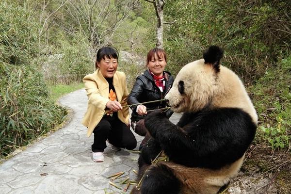 陕西景区现野生大熊猫 淡定吃竹笋任人拍照