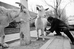 男子牵羊卖奶筹钱救尿毒症妻:再难也要让她活下去