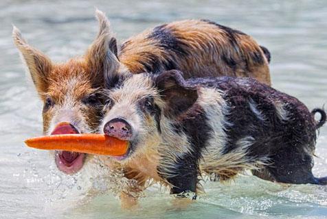 巴哈马群岛海滩猪水中互撕抢食物