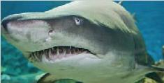 南太平洋海底火山周围存在鲨鱼