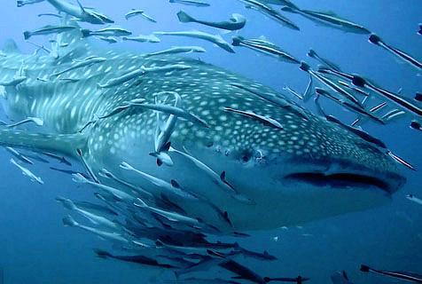 """摄影师潜水遇鲸鲨妈妈带幼崽""""遛弯"""""""