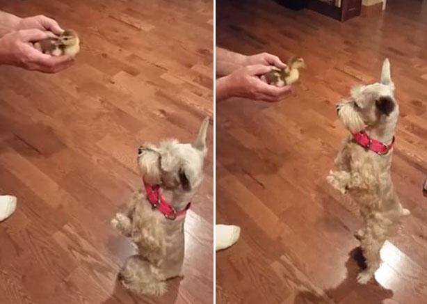 萌!汪星人初见小鸭子后腿站立做好奇状