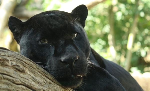 动物黑豹简笔画