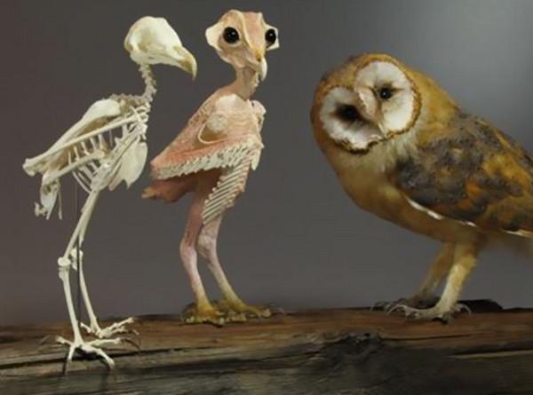"""从猫头鹰的生理解剖模型来看,真的是""""脖子以下全是腿""""呀!"""