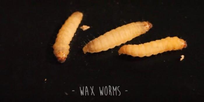 科学家发现一种会吃塑料袋的蠕虫