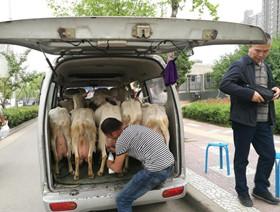 西安奶羊坐车进城 鲜奶现挤现卖