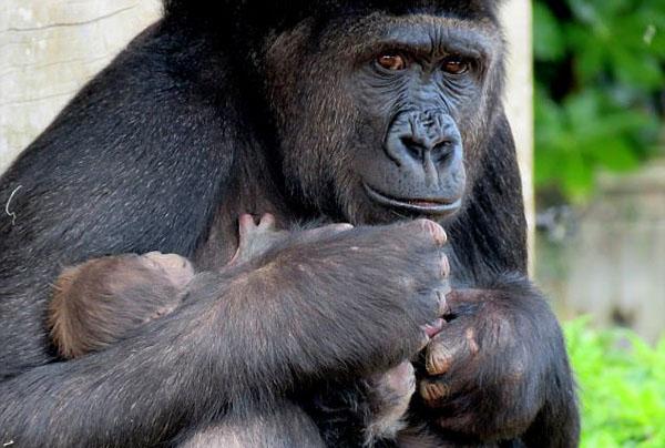 """英珍稀大猩猩初次产""""女"""" 细心呵护暖人心"""
