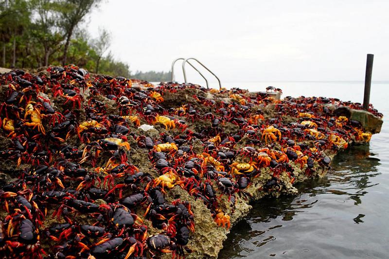 百万螃蟹横行古巴 当地人担心有毒不敢吃