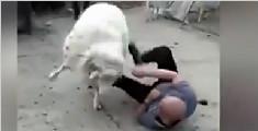 光头男骑羊拍照遭羊撞