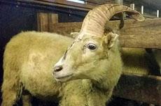 """冰岛一家人羊群中发现""""独角羊"""""""